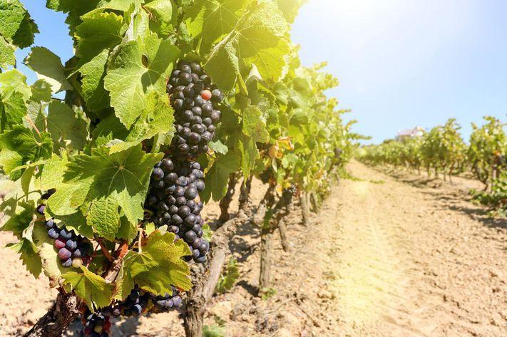 Alentejo grapes